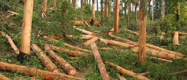 Post efectos de tala de rboles pueden durar siglos y se for Como talar un arbol
