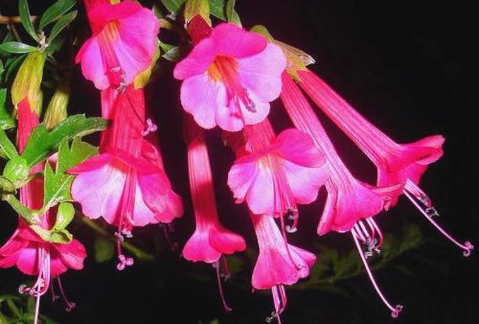 Noticia: Cantuta: Flor Nacional del Perú no tiene norma legal que ampare  ese título